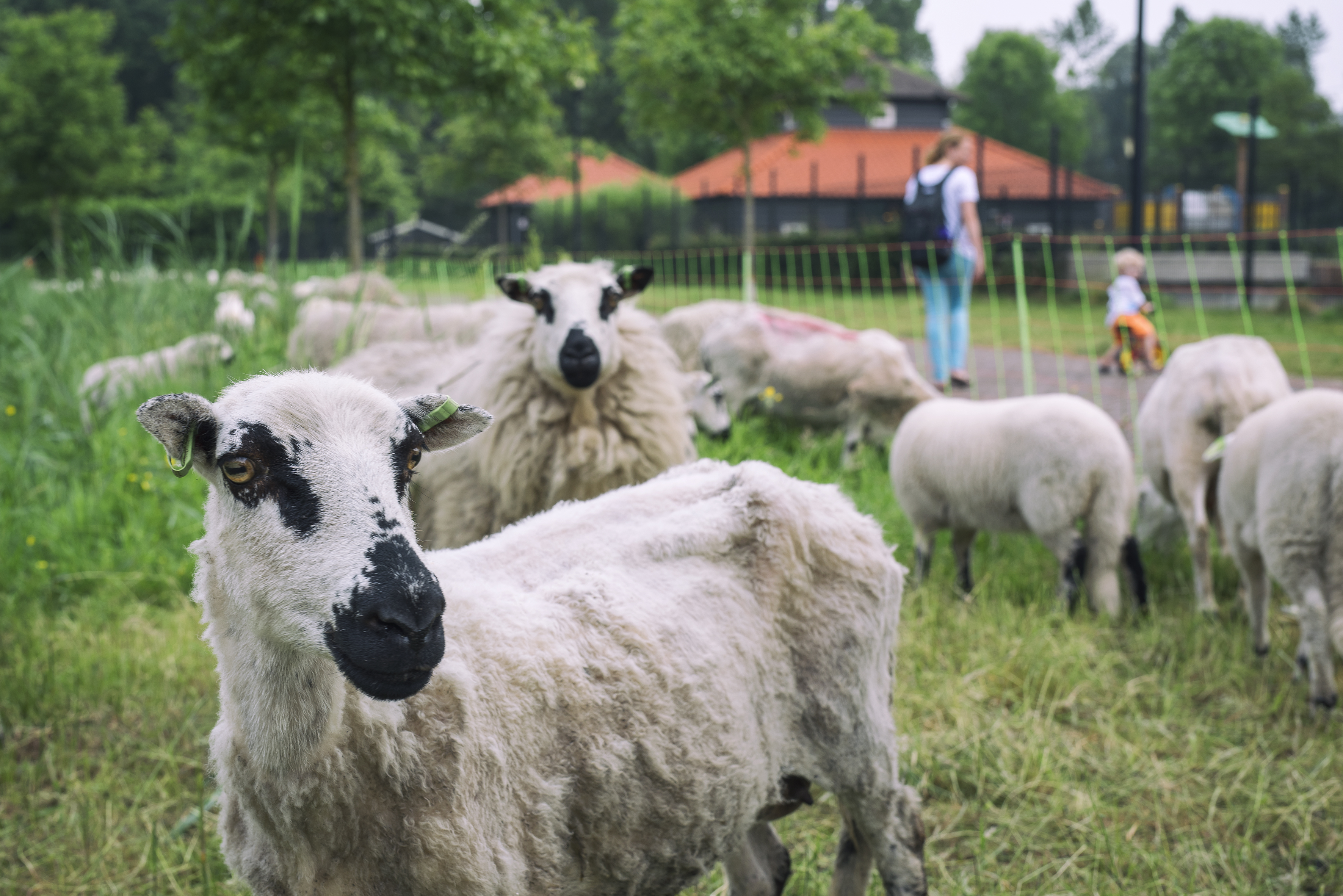 Schapen Beverwijk foto Heleen Vink